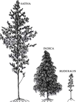 Izgled rastlin C. sativa L. ssp. sativa, C. sativa L. ssp. indica in C. sativa L. ssp. ruderalis.