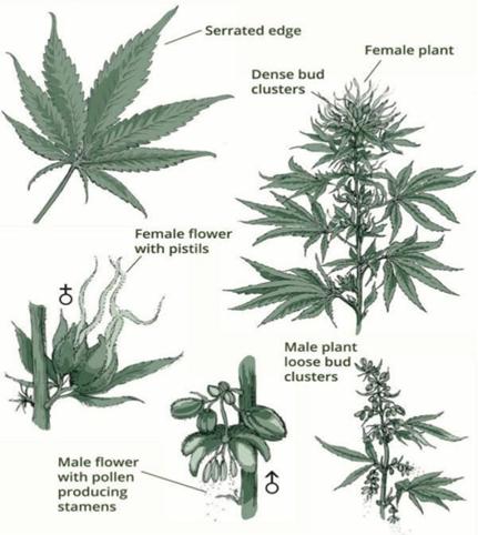 Ženska in moška rastlina konoplje s cvetovi ( spletni vir).